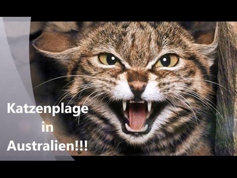 Katzenplage