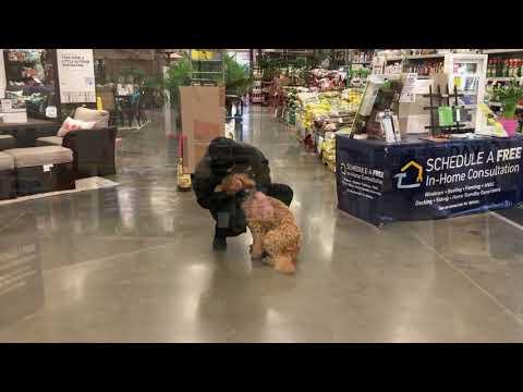 Best Dog Training Toledo, Ohio! 6 Month Old Australian Labradoodle, Croix