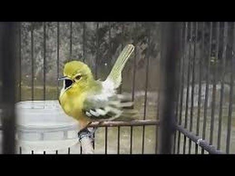 Burung Sirtu Kunyit Kecil Cipo Cito Cipeuw Sirpu Cipoh Edan Suara Melengking Youtube