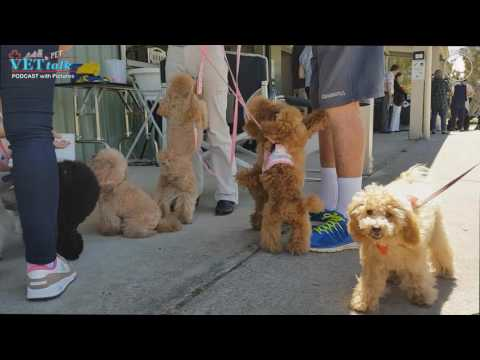 Poodle Fun Day 2016 - Dr Jo Sillince