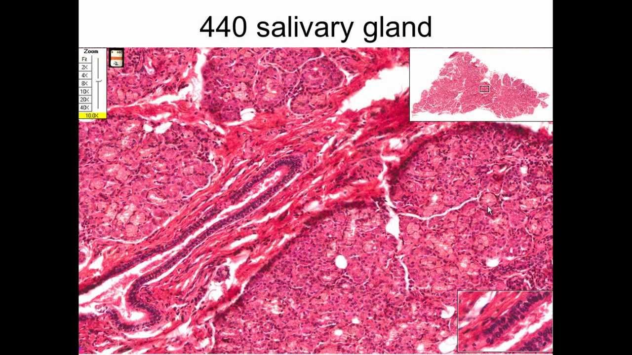 19. Liver, Gall Bladder, Salivary Glands & Pancreas - YouTube