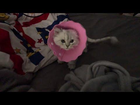 แมวใส่คอลล่าแมวครั้งแรก