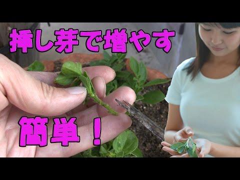 ガーデニング 挿し芽 ペチュニアを増やすよ 花壇 春夏秋 gardening