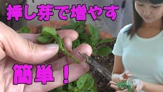 ガーデニング 挿し芽 ペチュニアを増やすよ! 花壇 春夏秋 gardening thumbnail