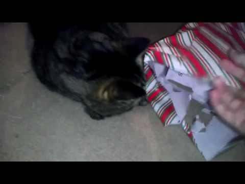 Funny Christmas Cat Terrorizes And Injures Owner. Walks Away Like A Boss.