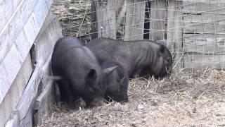 Новый проект ! Уход за свиньями по выходным!