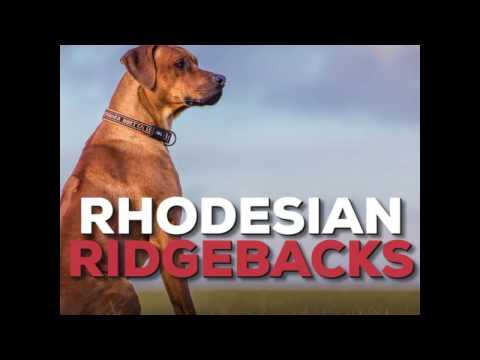 What's a Rhodesian Ridgeback?