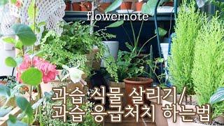 과습 식물 살리기/ 과습 정도에 따른 응급처치법/7월초 베란다정원