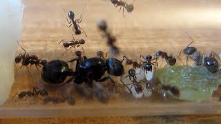 видео Где, сколько и как живут муравьи: особенности колонии