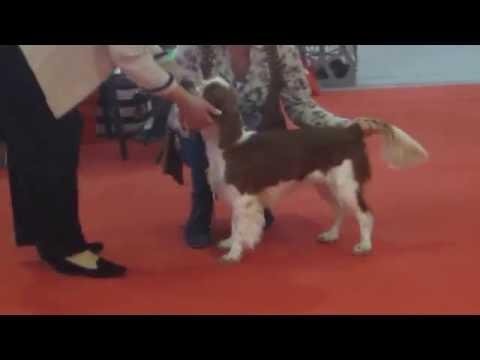 Welsh Springer Spaniels in Junior bitch class Murcia 12th November 2016
