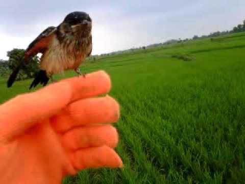 Striated Swallow (layang layang loreng)