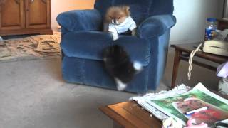Indya Wanting To Get Up Into Chair W Chilli (02-12-12) (pomeranian Puppy And Pomeranian Adult)