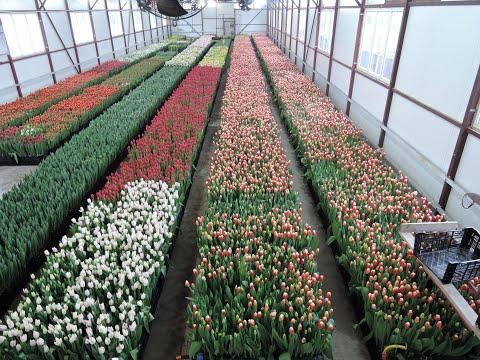 Выращивание тюльпанов на 8 марта