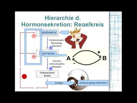 Hormonsystem: Hierarchie, Regelkreis 2/8 - YouTube