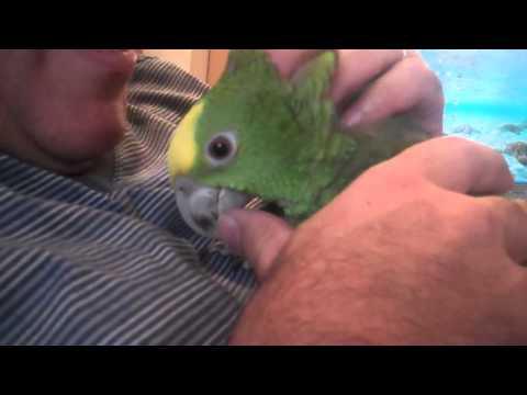 Double Yellow Amazon Parrot and I cuddling