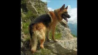 German Shepherd Training Tips - Tips And Tricks To A Better Behaved Gsd