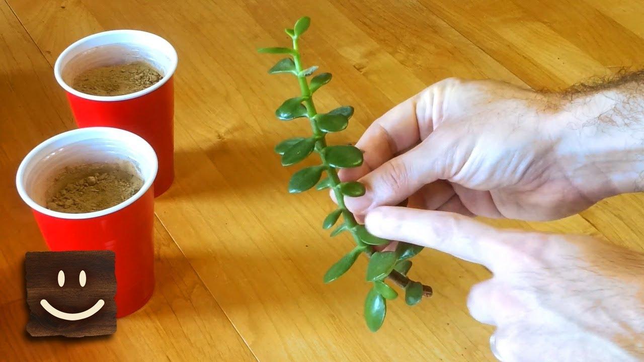 Para çiçeği (crassula ovata) bakımı, üretimi