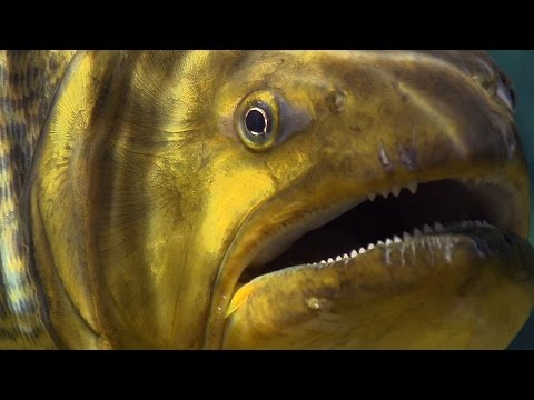 Piranha Feeding Frenzy - Planet Earth - BBC Earth