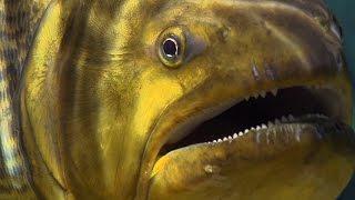 Piranha Feeding Frenzy - Planet Earth - BBC Earth