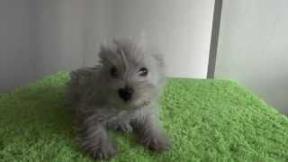 子犬販売AngelWan http://www.angelwan.com/