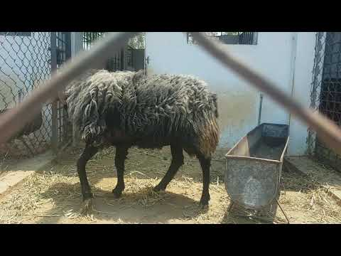 Government Goat Farm In Hyderabad.
