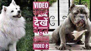 American bully Vs Indian spitz price in India || Americanbully with owner contact No | dog market NK
