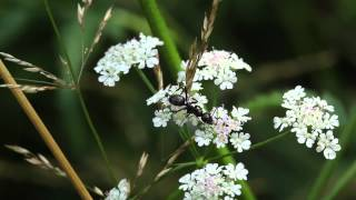 Ant forages on Torilis japonica