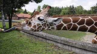 Zoo Wrocław - Czy żyrafy jedzą chrupki kukurydziane?