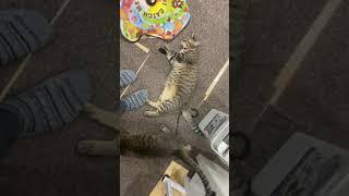 【猫】倒れる時の声が可愛すぎるネチコヤン