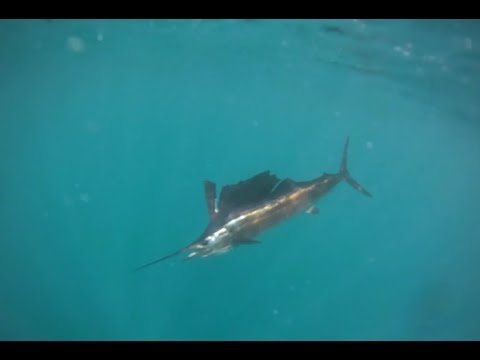 Sailfish Fishing Tips: How To Catch A Sailfish In South Florida