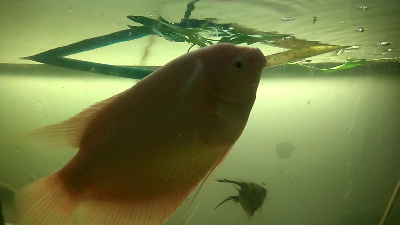Ikan Gurame Makan Kangkung Makanan Favorite Gurame Youtube