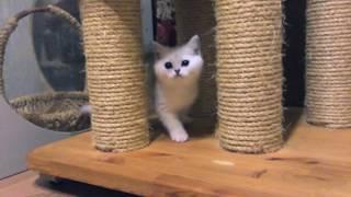 Британский короткошерстный котенок - девочка