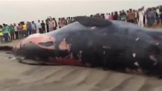 Worlds biggest whale fish at juhu beach mumbai