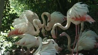Rome Zoo welcomes four new baby flamingos