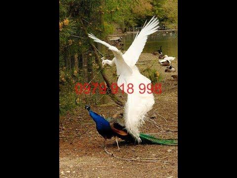 Chim Công Con 3 | Chim Công Con Bán Ở Đâu