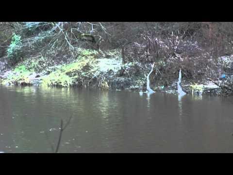 CLYDE FORUM - MID-CLYDE WATER - DEC 2011 (DIVING CORMORANT)