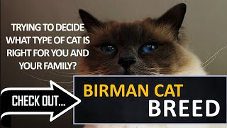What type of cat is right for you? Check out the Birman Cat Breed