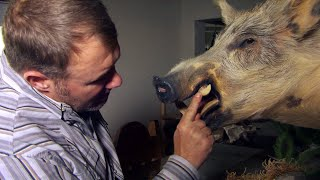 why-an-insane-amount-of-pigs-are-invading-southern-states
