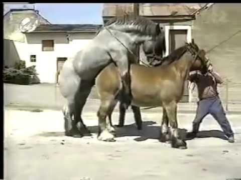 Спаривание ломовых лошадей
