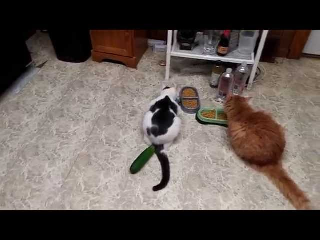 people are scaring their cats with cucumbers they shouldn t