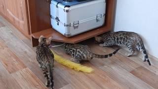 Бенгальские котята - питомник ЭлитБенг