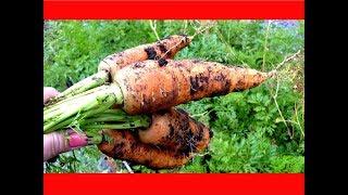 Морковь: Выращивание УРОЖАЙНОЙ МОРКОВИ/ УБОРКА/Как Правильно ОБРЕЗАТЬ МОРКОВЬ ДЛЯ ХРАНЕНИЯ.
