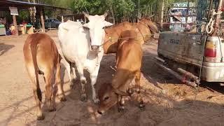 ตลาดวัวดงบัง อ.นาดูน จ.มหาสารคาม(เปิด 3 8 13 18 23 28 )