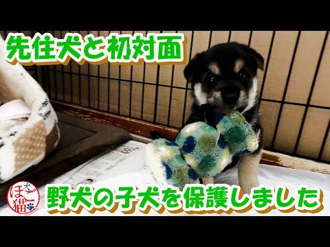 【犬 子犬 保護犬】野犬の子犬2匹を保護 初めて先住犬とご対面 仮名決定! 2
