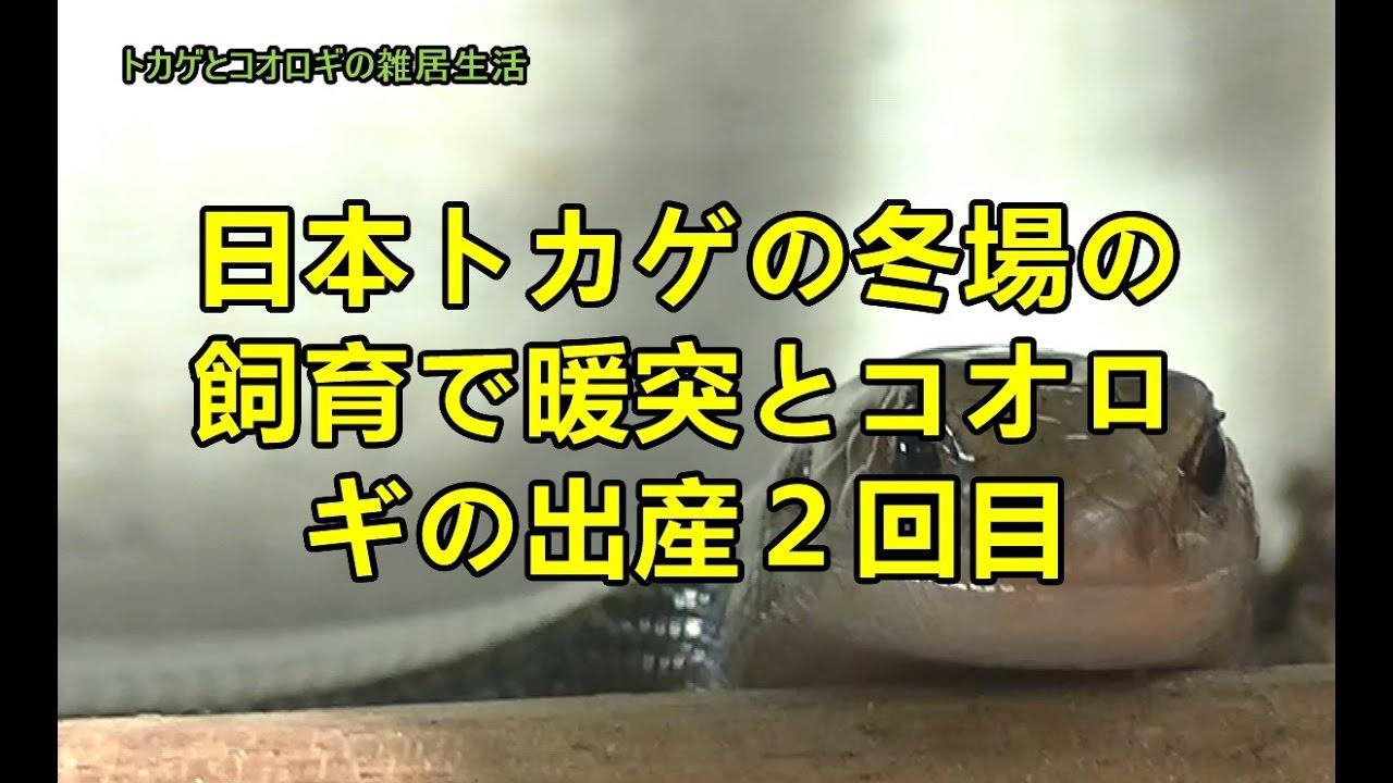 my song mind mapのlifelog 日本トカゲの冬場の飼育で暖突を使うこととコオロ