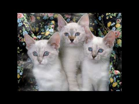 Javanese Cat and Kittens | History of the Javanese Cat Breed