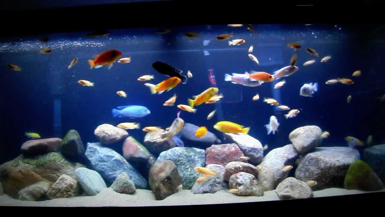 75 gallon cichlid tank feeding time youtube for Cichlid fish tank