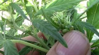 Que hacer con la marihuana hermafrodita.