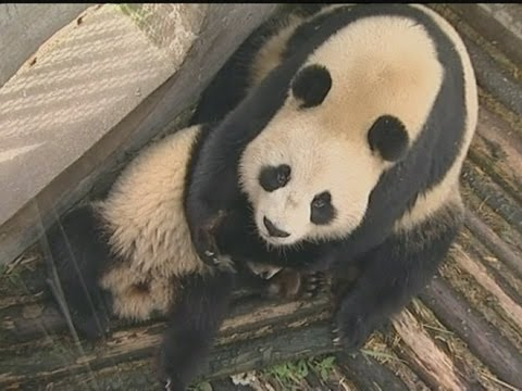 Edinburgh: Cute Pandas' Giant Scottish Adventure