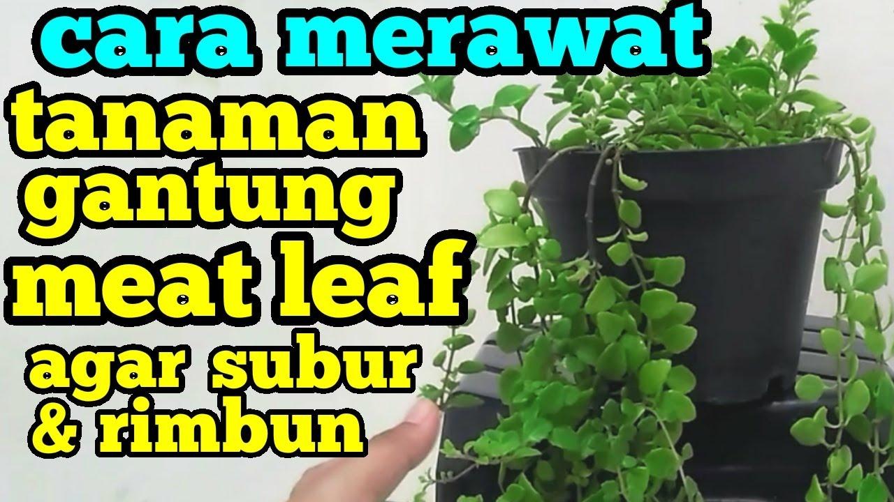 Cara Merawat Tanaman Gantung Meat Leaf Meatleaf Agar Subur Rimbun Youtube